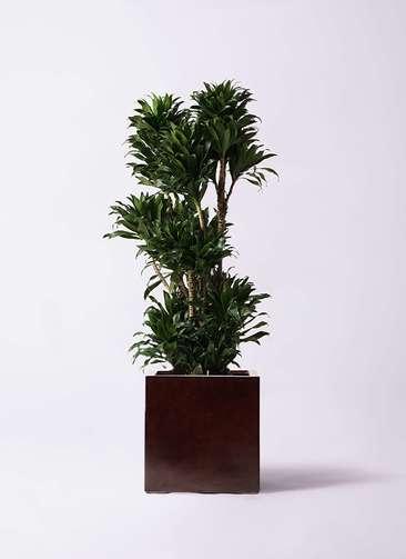 観葉植物 ドラセナ コンパクター 10号 MOKU キューブ 付き