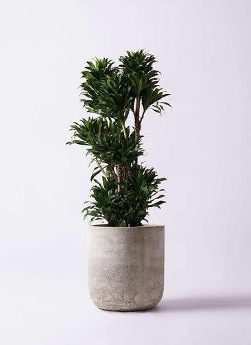 観葉植物 ドラセナ コンパクター 10号 エルバ 白 付き