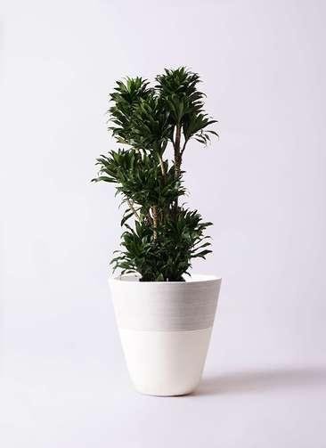 観葉植物 ドラセナ コンパクター 10号 ジュピター 白 付き