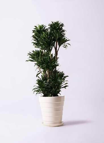 観葉植物 ドラセナ コンパクター 10号 サバトリア 白 付き