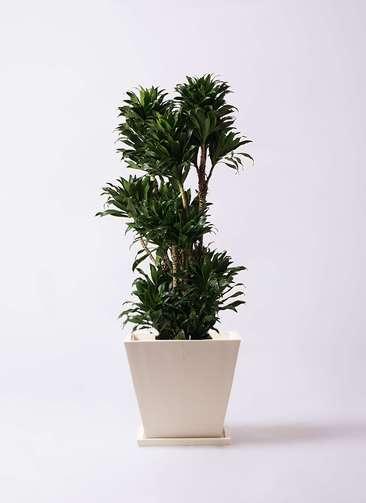 観葉植物 ドラセナ コンパクター 10号 パウダーストーン 白 付き
