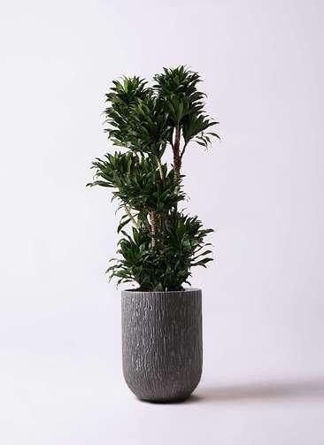 観葉植物 ドラセナ コンパクター 10号 カルディナトールダークグレイ 付き