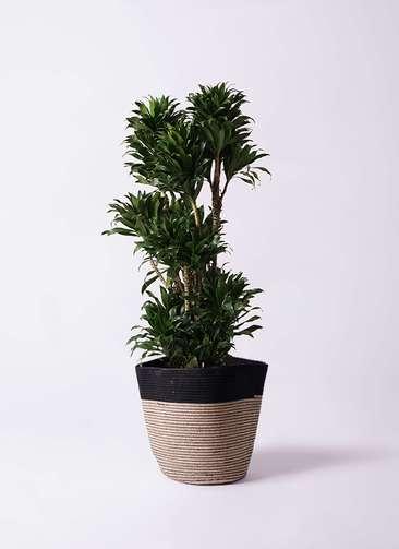観葉植物 ドラセナ コンパクター 10号 リブバスケットNatural and Black 付き