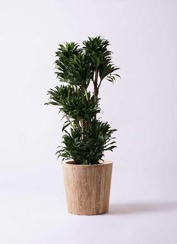 観葉植物 ドラセナ コンパクター 10号 ウッドプランター 付き
