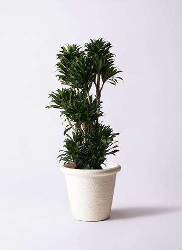 観葉植物 ドラセナ コンパクター 10号 ビアスリムス 白 付き