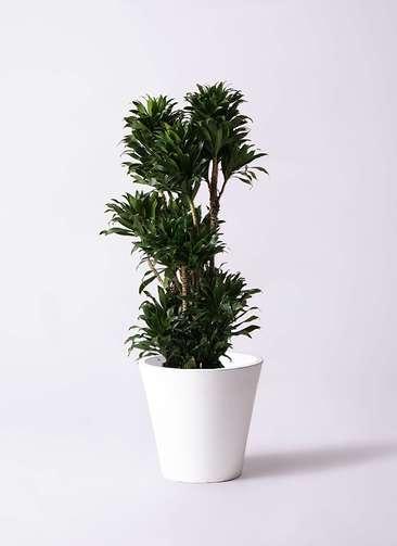 観葉植物 ドラセナ コンパクター 10号 フォリオソリッド 白 付き