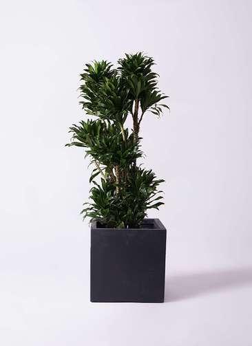 観葉植物 ドラセナ コンパクター 10号 ベータ キューブプランター 黒 付き