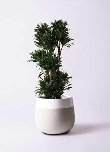 観葉植物 ドラセナ コンパクター 10号 ファイバーストーンタウルス ミドル 白 付き