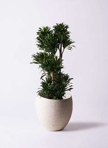 観葉植物 ドラセナ コンパクター 10号 エコストーンLight Gray 付き