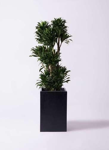 観葉植物 ドラセナ コンパクター 10号 セドナロング 墨 付き