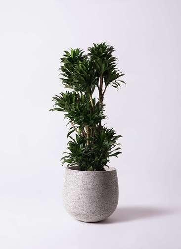 観葉植物 ドラセナ コンパクター 10号 エコストーンGray 付き