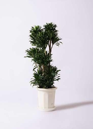 観葉植物 ドラセナ コンパクター 10号 プラスチック鉢