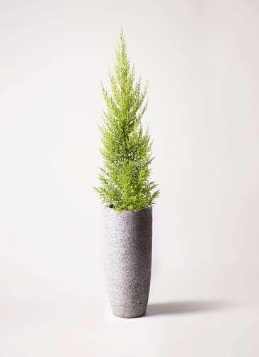 観葉植物 ゴールドクレスト 6号 ノーマル エコストーントールタイプ Gray 付き