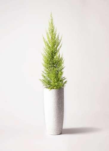 観葉植物 ゴールドクレスト 6号 ノーマル エコストーントールタイプ white 付き