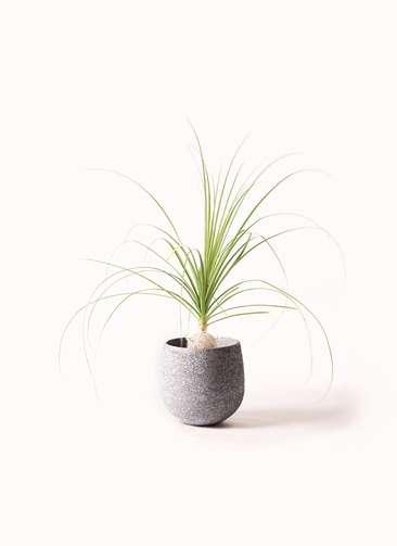 観葉植物 トックリラン 6号 エコストーンGray 付き
