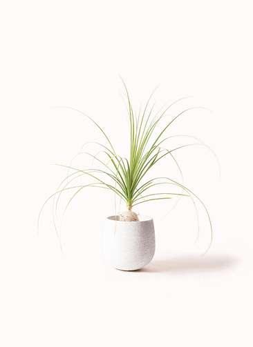 観葉植物 トックリラン 6号 エコストーンwhite 付き