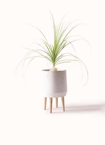 観葉植物 トックリラン 6号 ファイバークレイ white 付き
