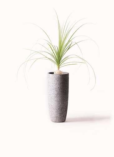観葉植物 トックリラン 6号 エコストーントールタイプ Gray 付き