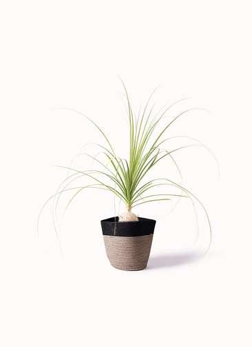 観葉植物 トックリラン 6号 リブバスケットNatural and Black 付き