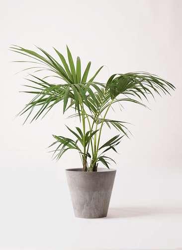 観葉植物 ケンチャヤシ 8号 アートストーン ラウンド グレー 付き