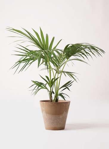 観葉植物 ケンチャヤシ 8号 アートストーン ラウンド ベージュ 付き