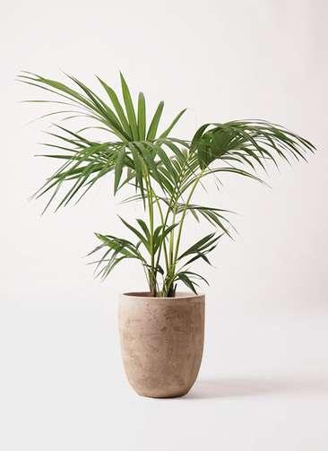 観葉植物 ケンチャヤシ 8号 ルーガ アンティコ アルトエッグ 付き