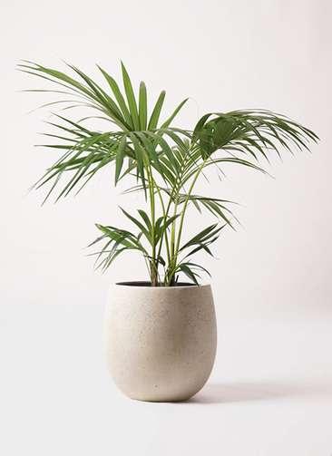 観葉植物 ケンチャヤシ 8号 テラニアス バルーン アンティークホワイト 付き