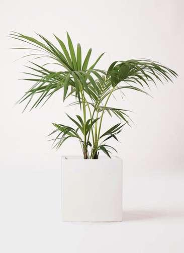 観葉植物 ケンチャヤシ 8号 バスク キューブ 付き
