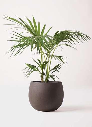 観葉植物 ケンチャヤシ 8号 テラニアス ローバルーン アンティークブラウン 付き