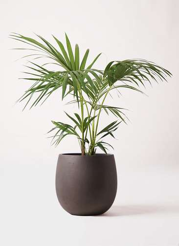 観葉植物 ケンチャヤシ 8号 テラニアス バルーン アンティークブラウン 付き