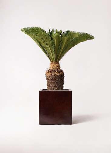 観葉植物 ソテツ 10号 MOKU キューブ 付き
