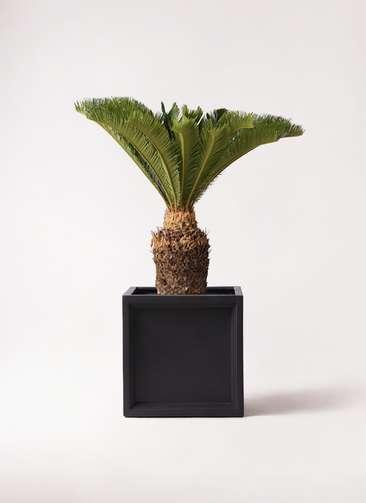 観葉植物 ソテツ 10号 ブリティッシュキューブ 付き