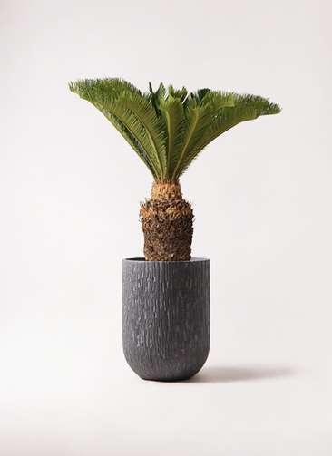 観葉植物 ソテツ 10号 カルディナトールダークグレイ 付き