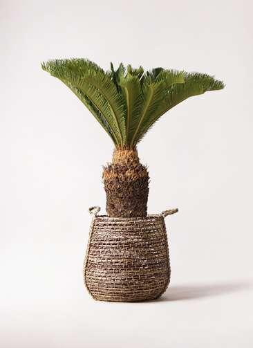 観葉植物 ソテツ 10号 リゲル 茶 付き