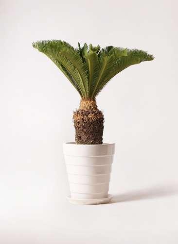観葉植物 ソテツ 10号 サバトリア 白 付き