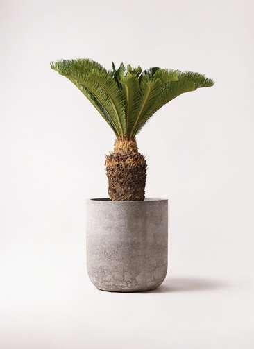 観葉植物 ソテツ 10号 エルバ 白 付き