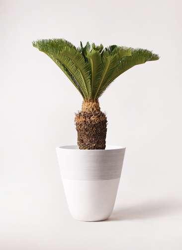 観葉植物 ソテツ 10号 ジュピター 白 付き