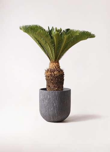 観葉植物 ソテツ 10号 カルディナダークグレイ 付き
