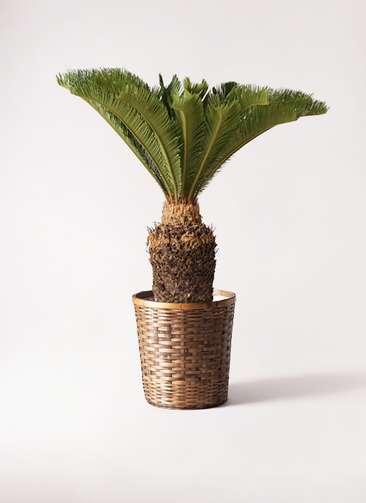 観葉植物 ソテツ 10号 竹バスケット 付き