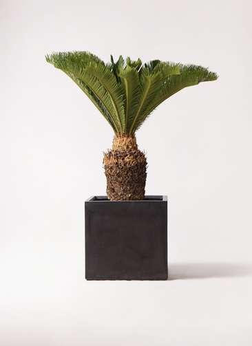観葉植物 ソテツ 10号 ファイバークレイ キューブ 付き