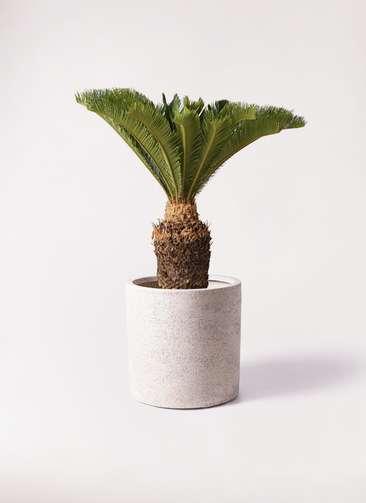 観葉植物 ソテツ 10号 サンディ シリンダー 白 付き