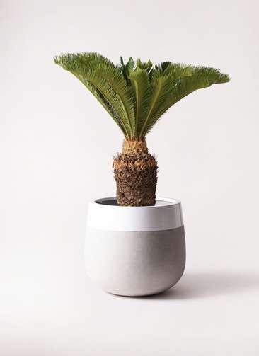 観葉植物 ソテツ 10号 ファイバーストーンタウルス ミドル 白 付き