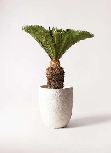 観葉植物 ソテツ 10号 ビアスアルトエッグ 白 付き