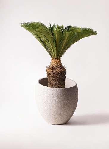 観葉植物 ソテツ 10号 エコストーンLight Gray 付き