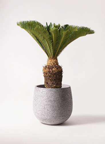 観葉植物 ソテツ 10号 エコストーンGray 付き