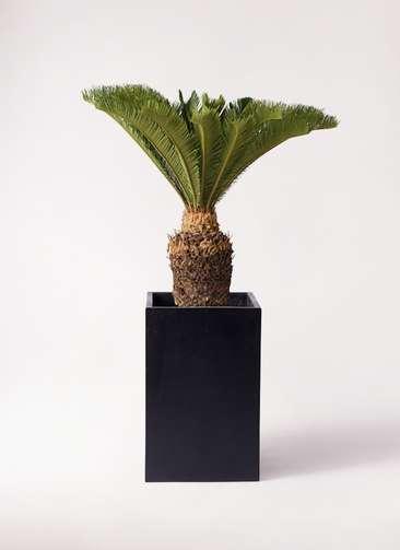 観葉植物 ソテツ 10号 セドナロング 墨 付き