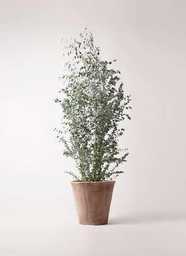 観葉植物 ユーカリ 10号 グニー ルーガ アンティコ ソリッド 付き