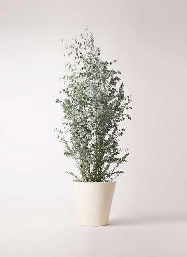 観葉植物 ユーカリ 10号 グニー フォリオソリッド クリーム 付き