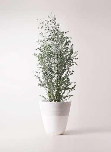 観葉植物 ユーカリ 10号 グニー ジュピター 白 付き