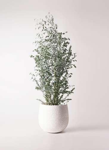 観葉植物 ユーカリ 10号 グニー エコストーンwhite 付き